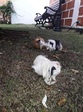 Conejillos de indias (cobayas)