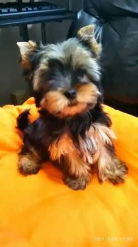 Chiquitines cachorros yorshire terrier