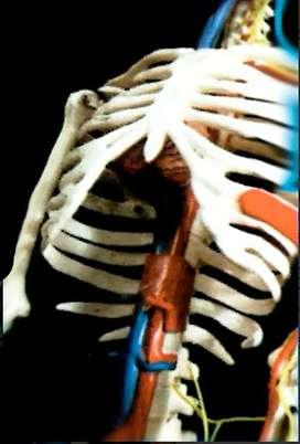 Esqueleto Humano Mas Sistema Nervioso Tam/85cms