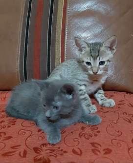 Adopción de gatitos