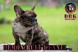 Bulldog francés black merle