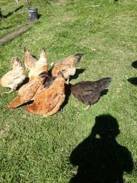 Gallinas, y gallina con 7 pollitos