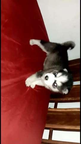 Husky macho disponible