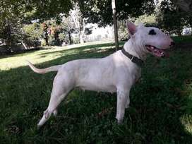 Bull terrier busca novio
