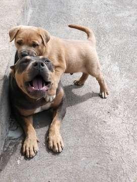 Cachorro Bully