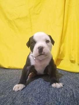 Piura bully+bulldog inglés