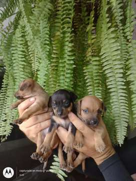 Adorables Pinchers Minis