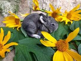 Conejos Mascota Agricola Manantial