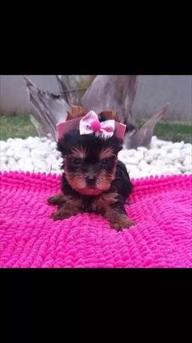 Excelentes cachorros raza yorkshire terrier miniaturas