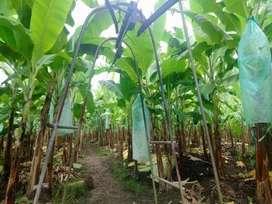 Finca de banano y cacao en producción