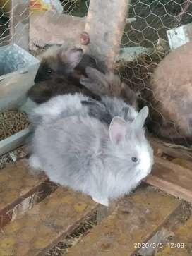 Conejos Teddy-Mariposa de 2 meces