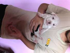 Cachorros pitbulls raza pura