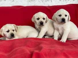 Labrador Dorado Cachorros Dos Meses