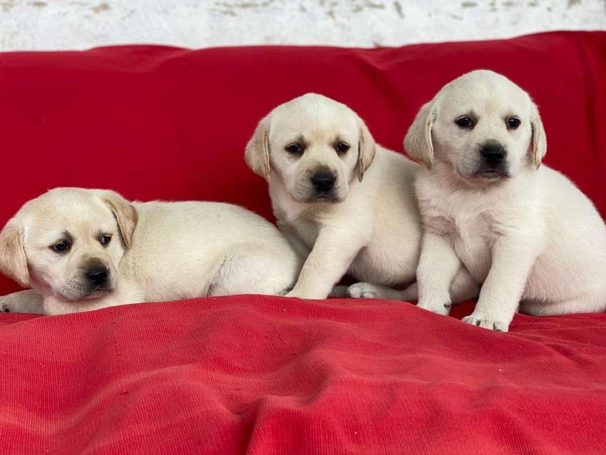 Labrador Dorado Cachorros Dos Meses 0