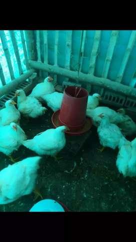 Pollos semicriollos y criollos