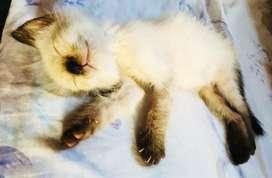 Gato Siames Bebe