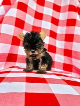 Saludable Yorkshire terrier niña