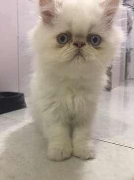 Gato persa extremo