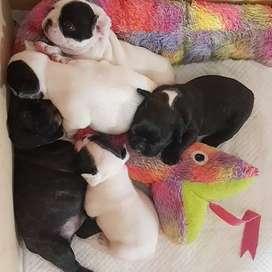 caninos vacunados y desparasitados de 58 dias
