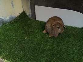 Conejita lop docil ideal para mascota