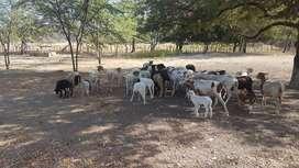 Venta de lote de 40 carneros Catadin criollo