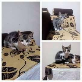 Gatos, adopta hermoso gatos, tienen mes y medio