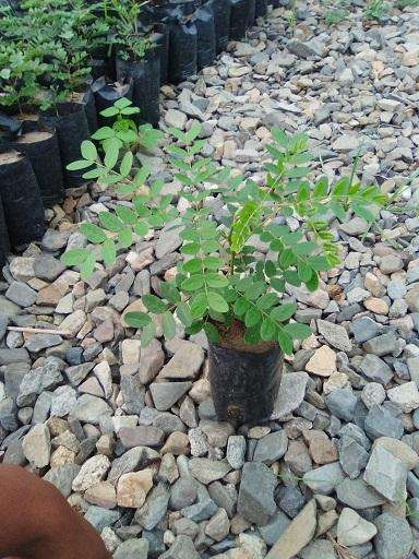 Plantas de Tara Taya Var. Precoz 0