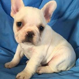 Bulldog Frances 50 Dias niño pequeño