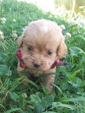 Bebés perritos cocker spaniel puros ya de mes y medio para llegar a tu hogar