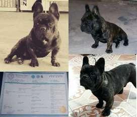Bulldog francés macho cortó buena genética para montas