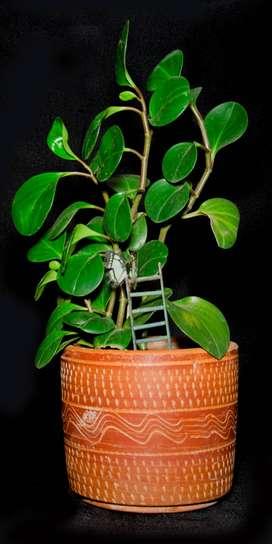 Plantas Pereira
