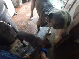 Cachorros pitbull  con vacunas
