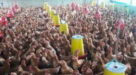 Venta de gallinas ponedoras rojas a nivel Nacional