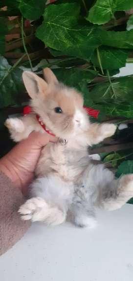 Conejos minilion