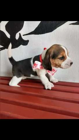 Encantadores cachorros raza beagle disponible