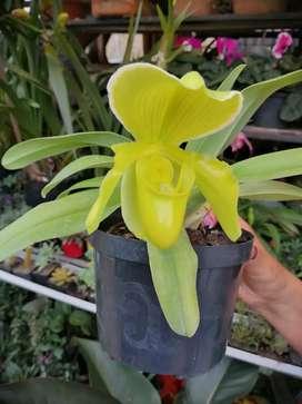 Orquídea zapatico (paphiopedilium)