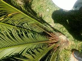 Planta palmera vendo urgente