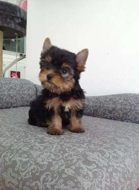 Yorkshire terrier  maravilla