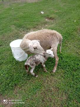 Venta de hembras ovinas
