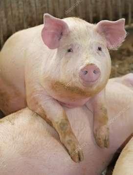 Vendo pierna de cerdo