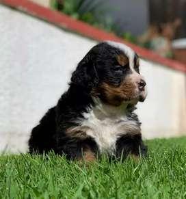Vendo hermosos cachorros Boyeros de Berna