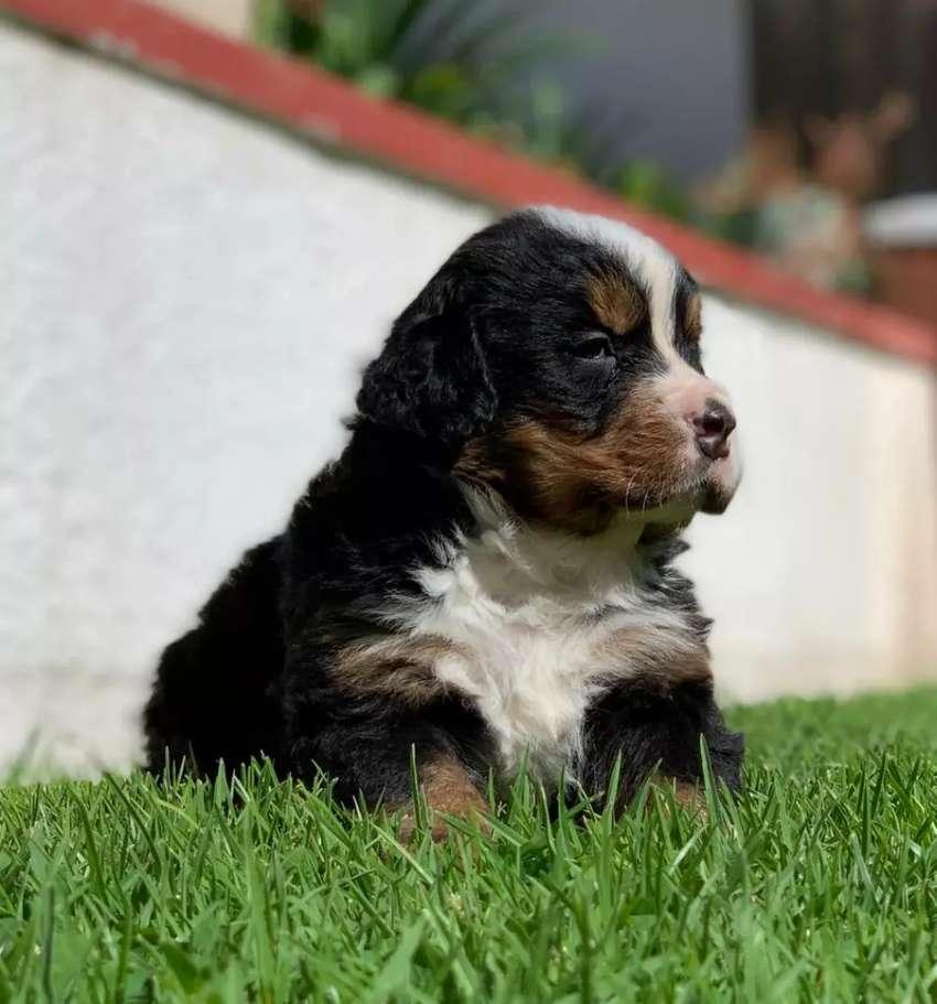 Vendo hermosos cachorros Boyeros de Berna 0