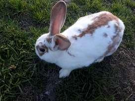 Vendo conejo macho