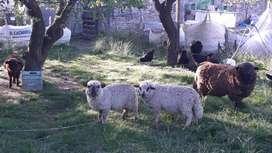 Corderos,ovejas