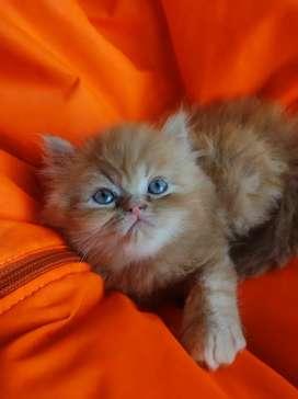 Hermoso gatico tipo Garfield en venta
