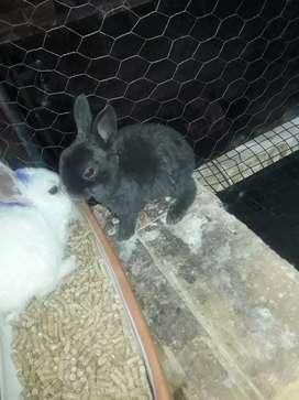 Se vende conejos mini rex