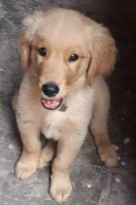 Golden retriver cachorro