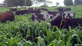 Mombasa venta de semilla