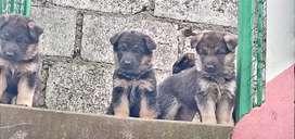 Se vende lindos cachorros pastor alemán puro