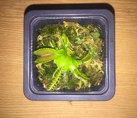 Plantas Carnívoras - Venus Atrapamoscas